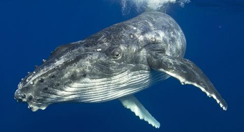 혹등고래, 뉴사우스웨일즈 사우스 코스트의 메림불라(Merimbula)