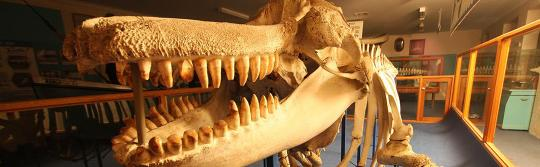 에덴 고래 박물관, 사파이어 코스트